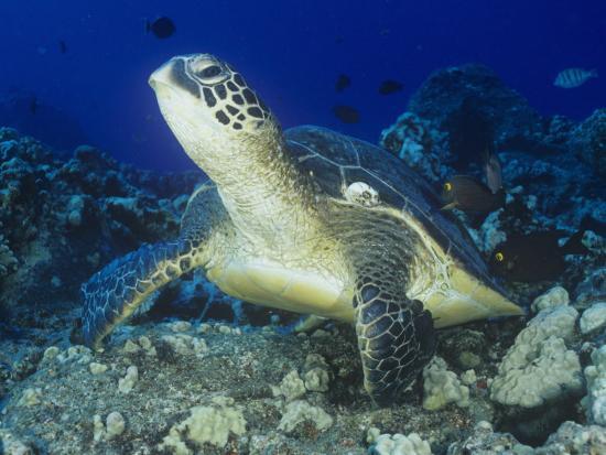 richard-herrmann-a-green-sea-turtle-chelonia-mydas-on-a-coral-reef-kona-coast-big-island-hawaii-usa