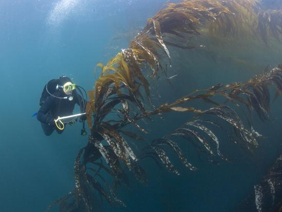 richard-herrmann-marine-biologist-and-diver-performing-a-rockfish-survey-in-giant-kelp-forest