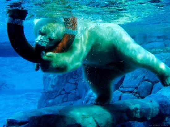 richard-i-anson-polar-bear-underwater-at-melbourne-zoo