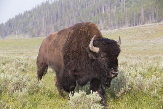 richard-maschmeyer-bison-bison-bison