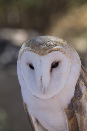 richard-maschmeyer-close-up-of-a-common-barn-owl-tyto-alba