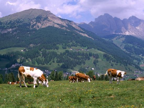 richard-nebesky-cows-grazing-at-monte-pana-and-leodle-geisler-odles-range-in-background-dolomites-italy