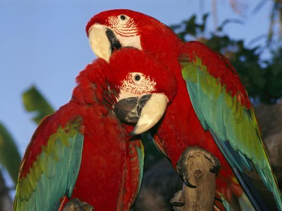 richard-nowitz-pair-of-captive-red-and-green-macaws-at-busch-gardens