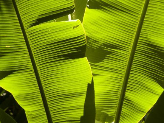 richard-nowitz-sun-pattern-on-tropical-jungle-leaf-punta-de-sal-island-honduras