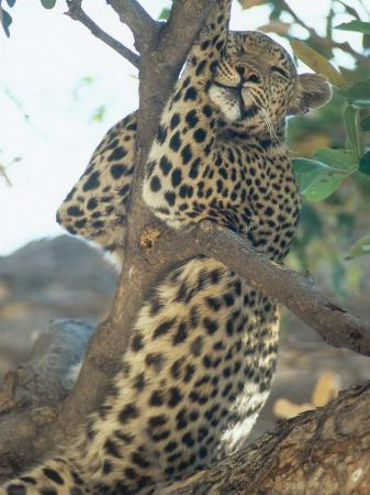 richard-packwood-leopard-resting-in-tree-during-heat-of-the-day-botswana