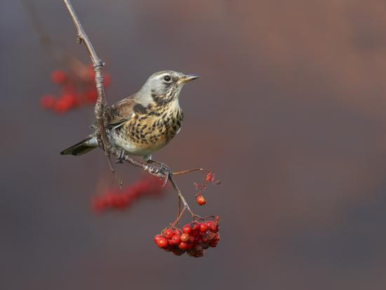 richard-steel-fieldfare-turdus-pilaris-perched-on-branch-of-a-rowan-tree-sorbus-aucuparia-with-berries-uk