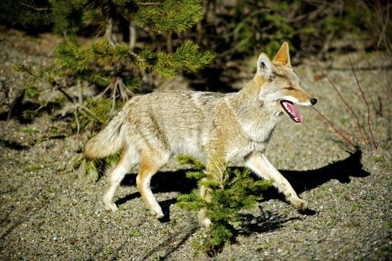 richard-wright-a-coyote-searches-for-prey-in-the-cariboo-mts-of-b-c-canada