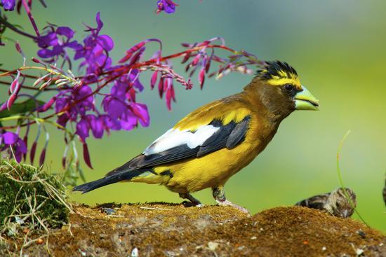 richard-wright-evening-grosbeak-foraging-on-the-ground