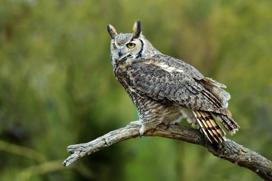 richard-wright-great-horned-owl-also-known-as-the-tiger-owl