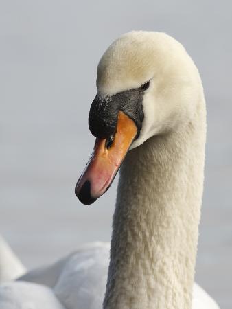 rick-a-brown-mute-swan-vancouver-british-columbia-canada