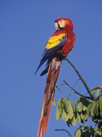 rick-nora-bowers-scarlet-macaw-ara-macao-tikal-national-park-guatemala-central-america