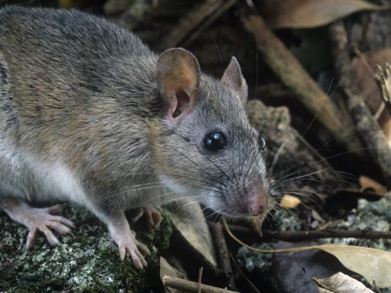 rob-ann-simpson-key-largo-wood-rat-or-packrat-neotoma-floridana-smalli-an-endangered-species-florida-usa