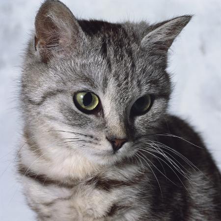 robert-dowling-grey-tabby-kitten