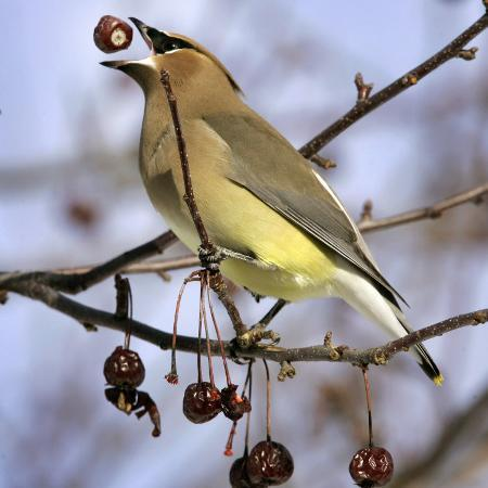 robert-f-bukaty-a-cedar-waxwing-tosses-up-a-fruit-from-a-flowering-crab-tree-freeport-maine-january-23-2007