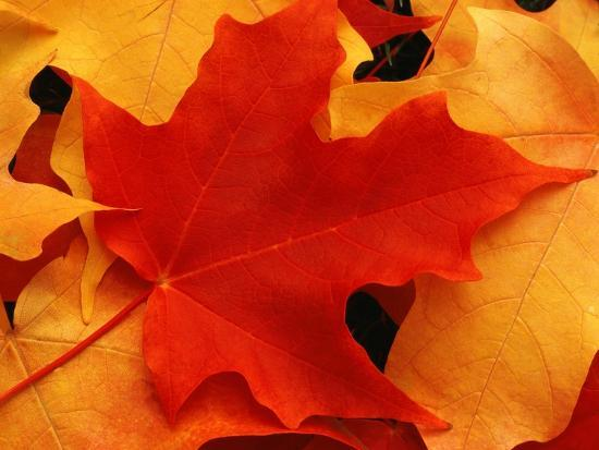 robert-glusic-red-and-yellow-maple-leaves