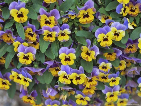 robert-harding-viola-flowers