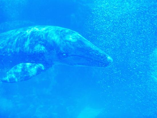 robert-marien-young-gray-whale