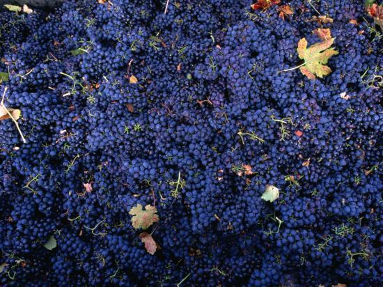 roberto-gerometta-zinfandel-grape-harvest-sonoma-california-usa