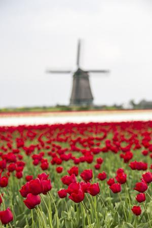 roberto-moiola-red-tulip-fields-frame-the-windmill-in-spring-berkmeer-koggenland-north-holland-netherlands