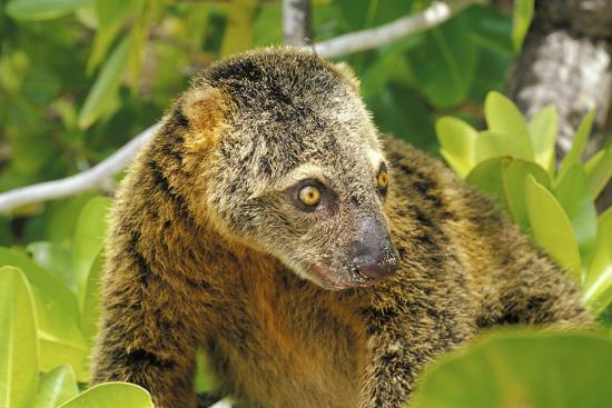roberto-rinaldi-sulawesi-bear-cuscus-ailurops-ursinus-sulawesi-indonesia-vulnerable-species