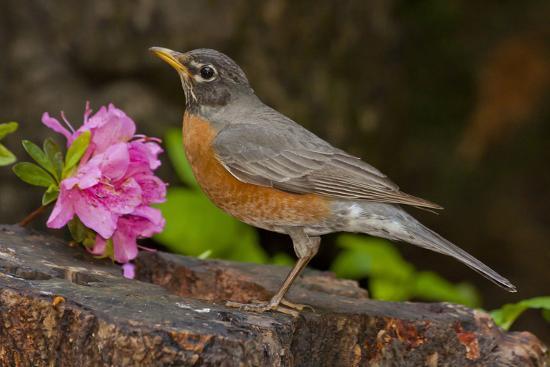 robin-bird-standing-on-rock-north-carolina-usa