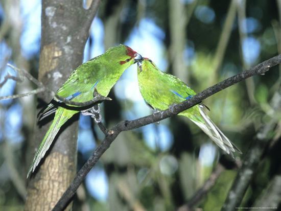 robin-bush-red-crowned-parakeet-pair-n-zealand