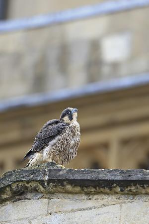 robin-chittenden-peregrine-falco-peregrinus-peregrinus-chick-on-roof-norwich-cathedral-norfolk-june-2013