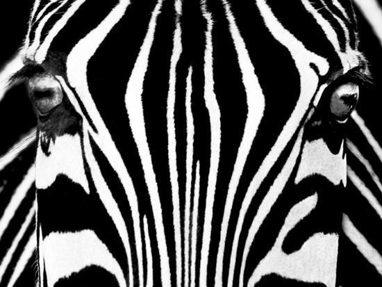 rocco-sette-black-white-i-zebra