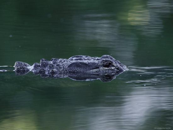 rolf-nussbaumer-american-alligator-submerged-sanibel-is-florida-usa