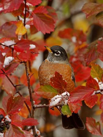 rolf-nussbaumer-american-robin-male-in-black-hawthorn-grand-teton-national-park-wyoming-usa