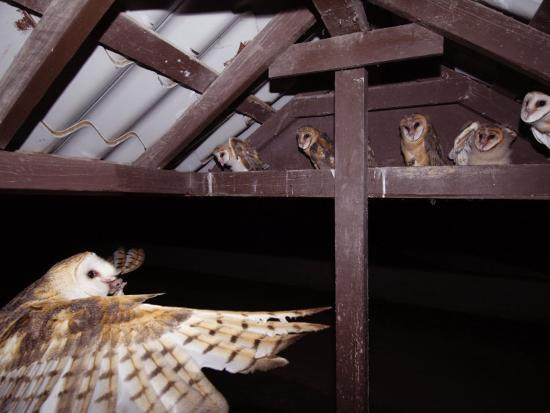 rolf-nussbaumer-barn-owl-adult-bringing-mouse-prey-to-young-in-nest-rio-grande-valley-texas-usa