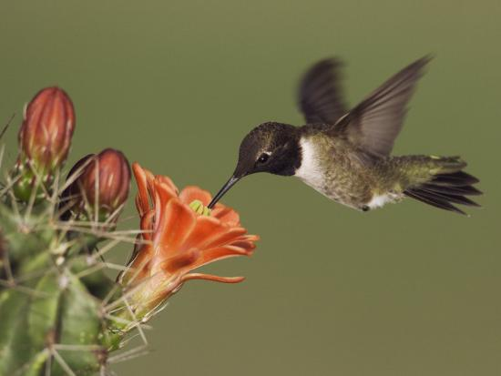 rolf-nussbaumer-black-chinned-hummingbird-uvalde-county-hill-country-texas-usa