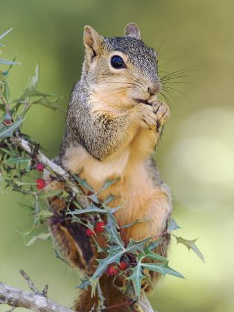 rolf-nussbaumer-eastern-fox-squirrel-eating-berries-uvalde-county-hill-country-texas-usa