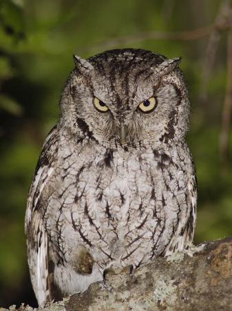 rolf-nussbaumer-eastern-screech-owl-adult-at-night-texas-usa-april-2006