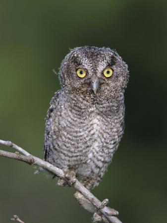 rolf-nussbaumer-eastern-screech-owl-young-fledgling-willacy-county-rio-grande-valley-texas-usa