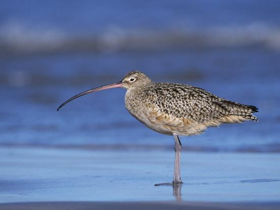 rolf-nussbaumer-long-billed-curlew-padre-island-national-seashore-texas-usa