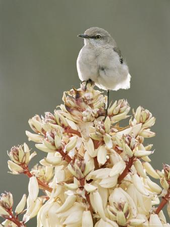 rolf-nussbaumer-mockingbird-perched-on-yucca-flower-texas-usa
