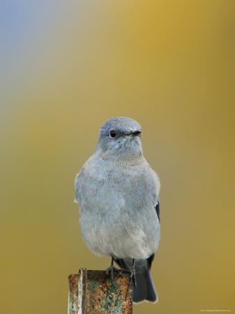 rolf-nussbaumer-mountain-bluebird-male-on-post-grand-teton-national-park-wyoming-usa