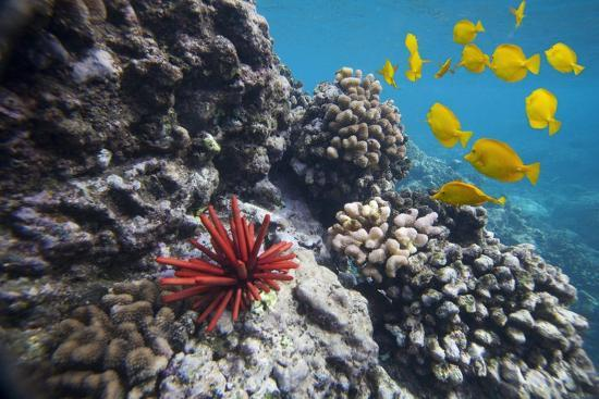 ron-dahlquist-hard-coral-yellow-tang-and-pencil-urchin-underwater-near-la-perousse-makena-maui-hawaii
