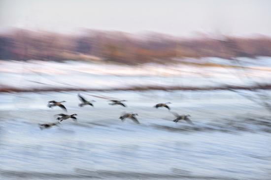 rona-schwarz-canada-geese-in-flight-over-frozen-wetlands-west-lafayette-indiana