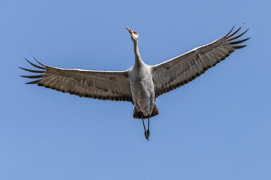 rona-schwarz-close-up-of-a-sandhill-crane-in-flight