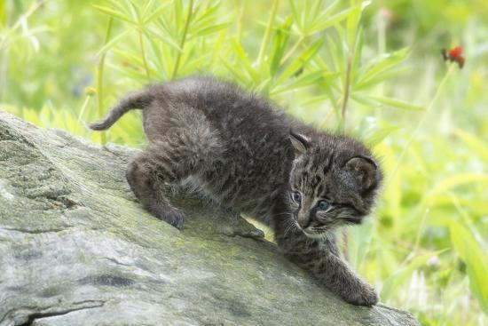 rona-schwarz-minnesota-sandstone-bobcat-kitten-on-top-of-log-in-spring-grasses