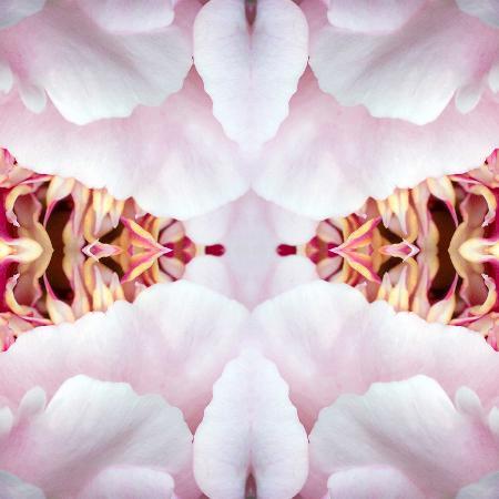 rose-anne-colavito-peony-flame