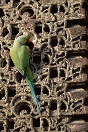 rose-ringed-parakeet