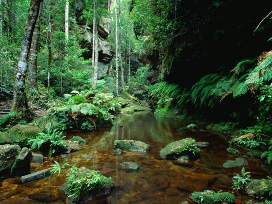 ross-barnett-temperate-rainforest-at-greaves-creek-feature-of-grand-canyon-walk-blue-mountains-np-australia