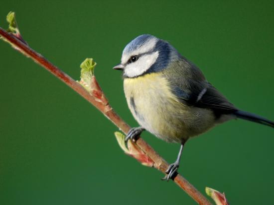 ross-hoddinott-blue-tit-on-branch-cornwall-uk