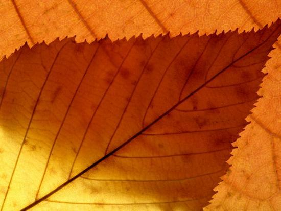 ross-hoddinott-colourful-autumnal-leaves-backlit-cornwall-uk