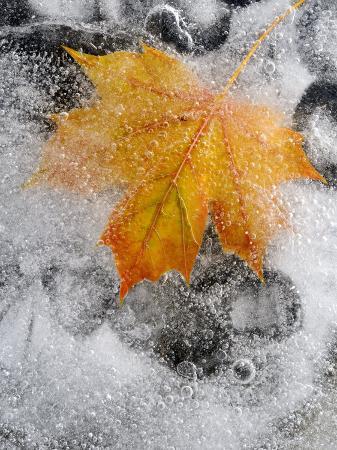 ross-hoddinott-field-maple-leaf-frozen-in-ice-cornwall-uk-october