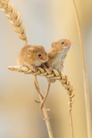 ross-hoddinott-harvest-mice-micromys-minutus-on-wheat-stems-devon-uk