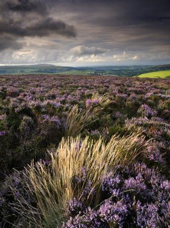 ross-hoddinott-heather-and-moorland-view-near-birch-tor-dartmoor-np-devon-uk-august-2008